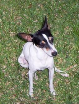 Toy Fox Terrier (3).jpg