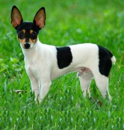 Toy Fox Terrier.jpg