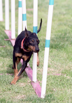 Toy Manchester Terrier.png