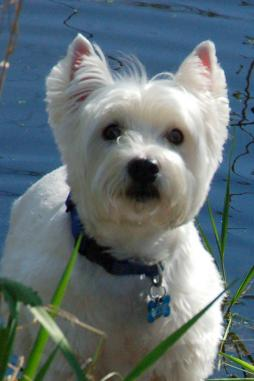 WEST HIGHLAND WHITE TERRIER (2).jpg
