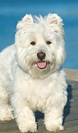 WEST HIGHLAND WHITE TERRIER (5).jpg