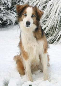 Welsh_Sheepdog1.jpg