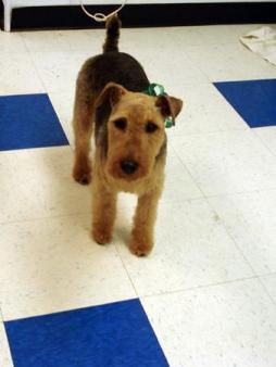 Welsh_Terrier1 (2).jpg