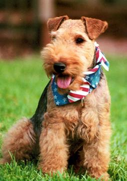 Welsh_Terrier1 (3).jpg