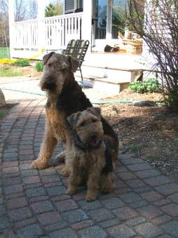Welsh_Terrier1 (4).jpg