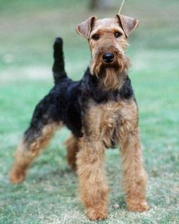 Welsh_Terrier1 (5).jpg