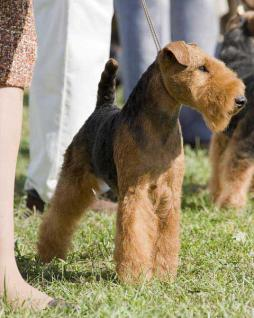 Welsh_Terrier1 (7).jpg