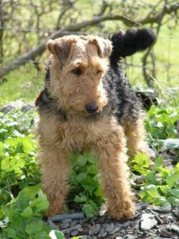 Welsh_Terrier1 (8).jpg