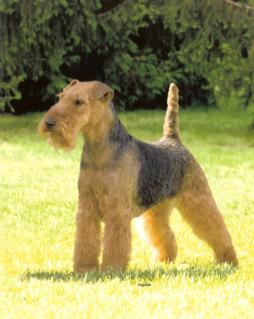 Welsh_Terrier1.jpg