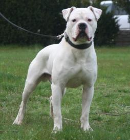 White English Bulldog.jpg