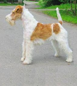 Wire Fox Terrier1 (1).jpg