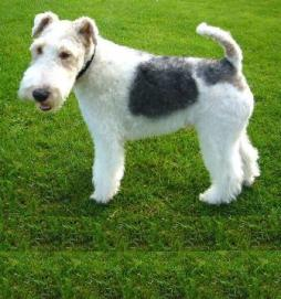 Wire Fox Terrier1.jpg