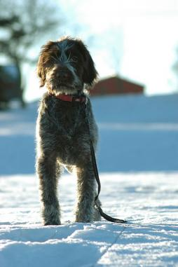 Wirehaired Pointing Griffin (1).jpg