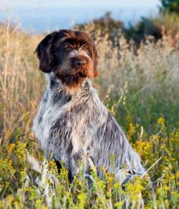 Wirehaired Pointing Griffin (2).jpg