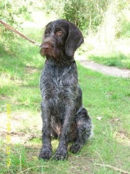 Wirehaired Pointing Griffin (3).jpg