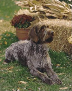 Wirehaired Pointing Griffin (4).jpg