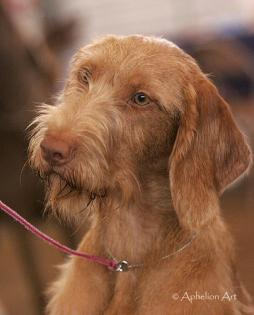 Wirehaired Vizsla (1).jpg