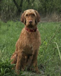 Wirehaired Vizsla (3).jpg