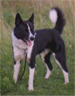karelian bear dog (2).jpg