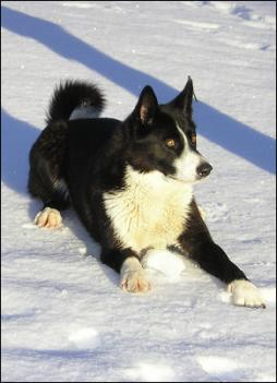 karelian bear dog (5).jpg