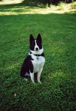karelian bear dog (7).jpg