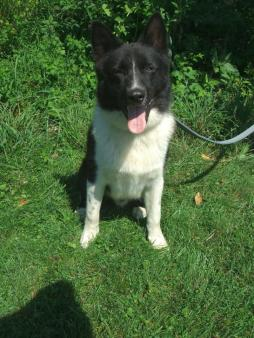karelian bear dog (8).jpg