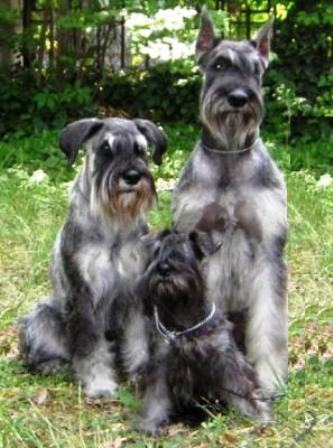 Schnauzer Breed Information: History, Health, Pictures ...